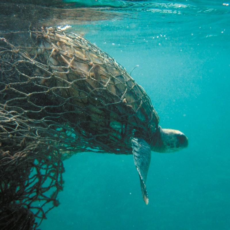 Une tortue prisonnière d'un filet de pêche