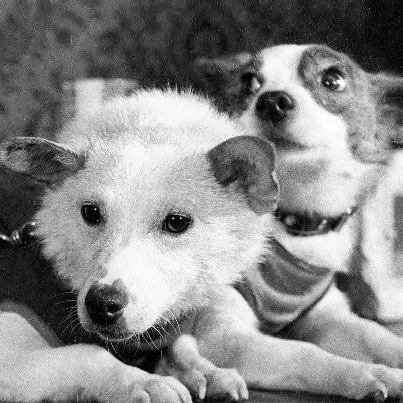 Belka et Strelka survivent à un vol suborbital en 1960 (URSS)