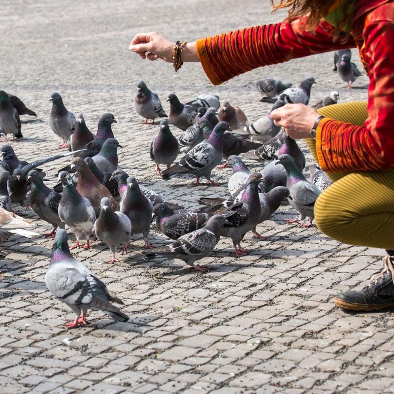 Les pigeons pourraient vivre aux côtés des humains en étant protégés.