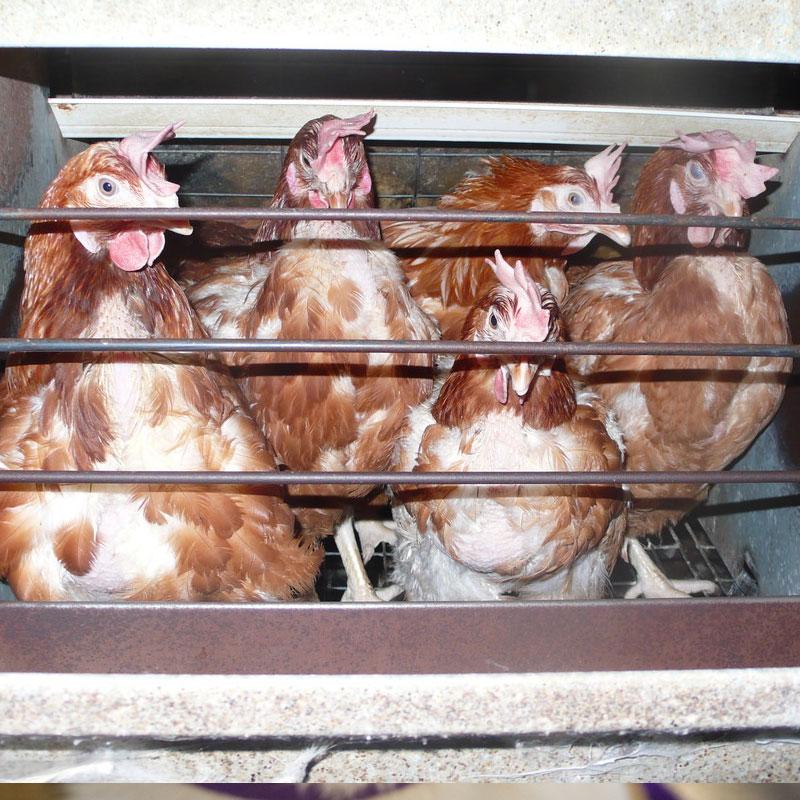 Les poules n'ont droit qu'à l'espace d'une feuille A4 pour vivre.
