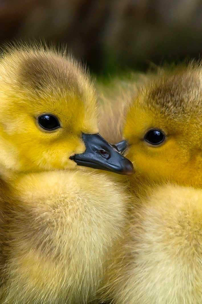 baisse-consommation-foie-gras-canards-mulards