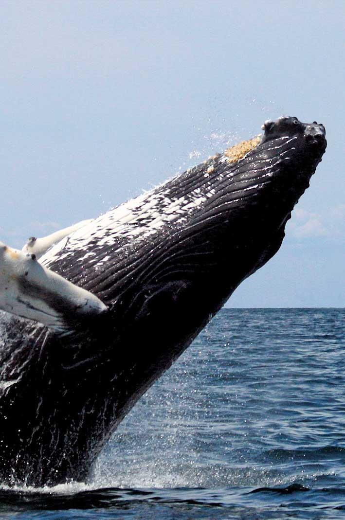 baleine-a-bosse-population-sauvee