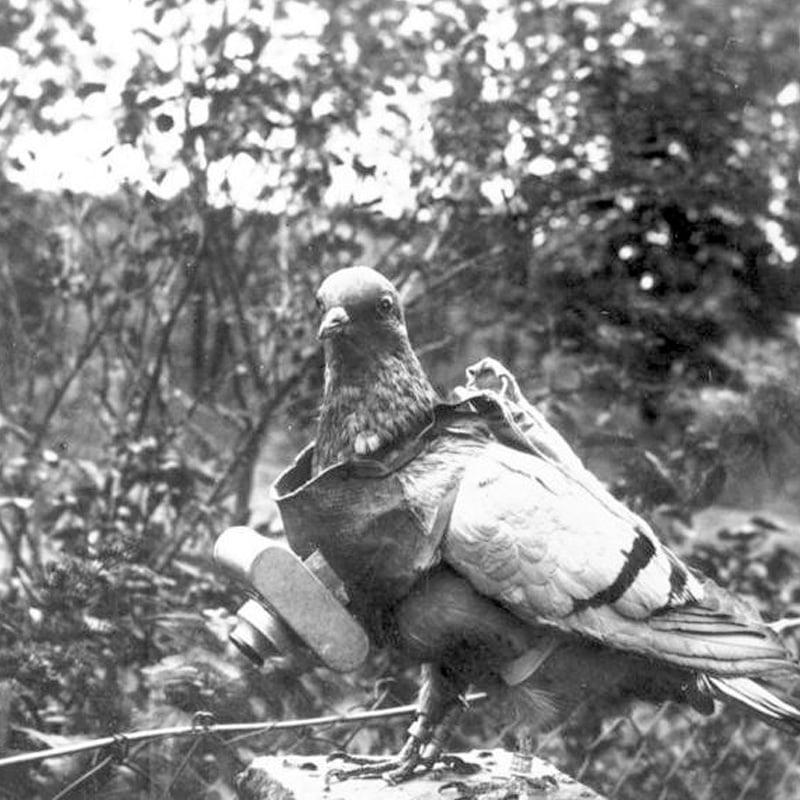 Un pigeon équipé d'un appareil photo pour l'espionnage