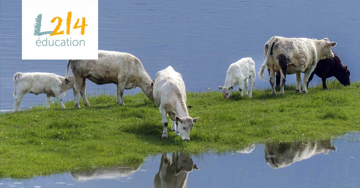 La goutte d'eau qui fait déborder les vaches