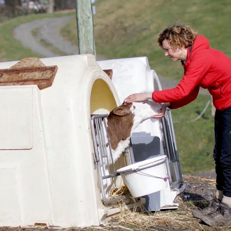 Les veaux laitiers sont séparés de leur mère à la naissance.