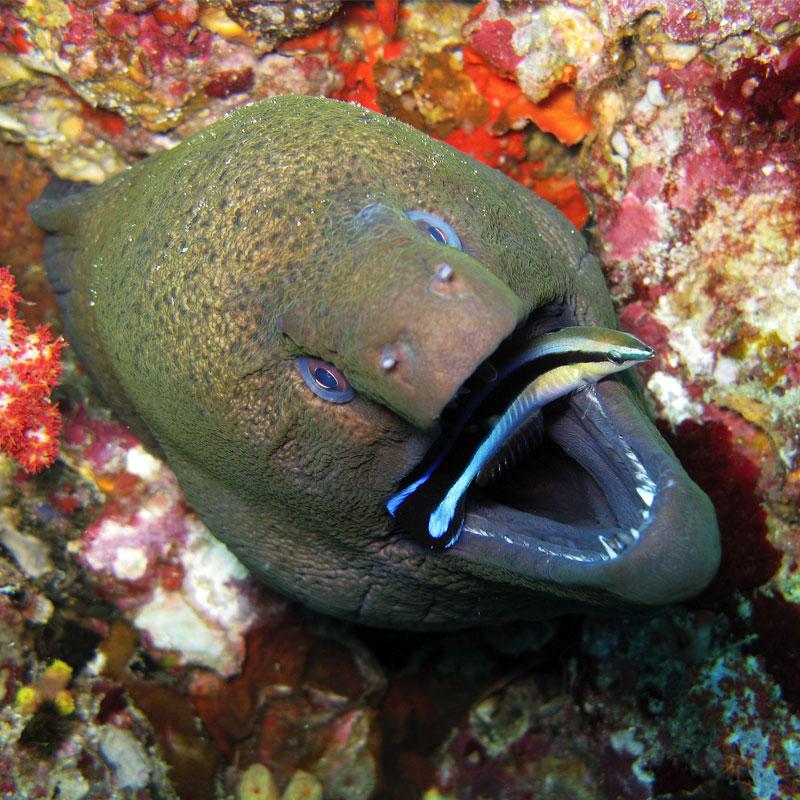 En nettoyant les autres poissons, les labres peuvent se nourrir.