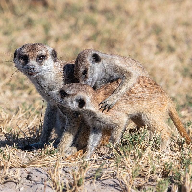 Chez les suricates, un membre du groupe fait toujours le guet pour protéger ses semblables.
