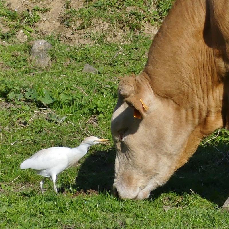 Le héron garde-bœufs reste auprès des grands ruminants pour se nourrir des parasites sur sa peau.