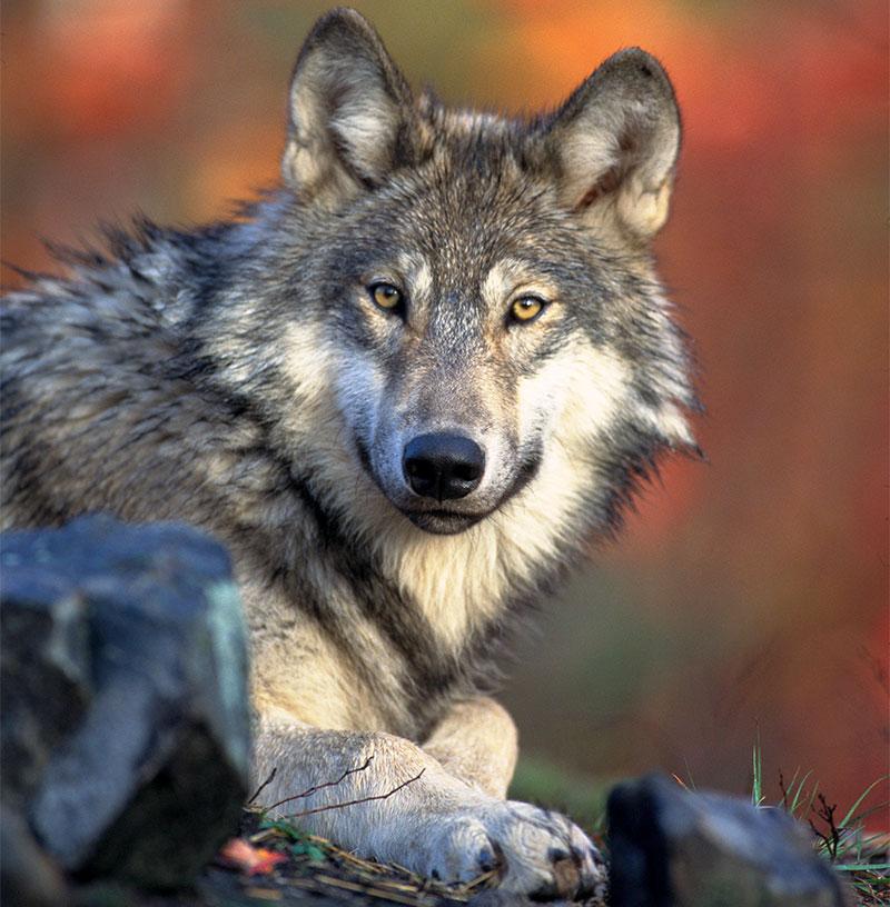 Les loups peuvent coopérer entre eux, mais ils peuvent aussi collaborer avec... des corbeaux!