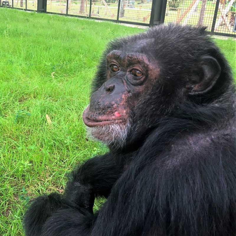 Aujourd'hui, Bubbles profite de la tranquillité au Center for Great Apes.