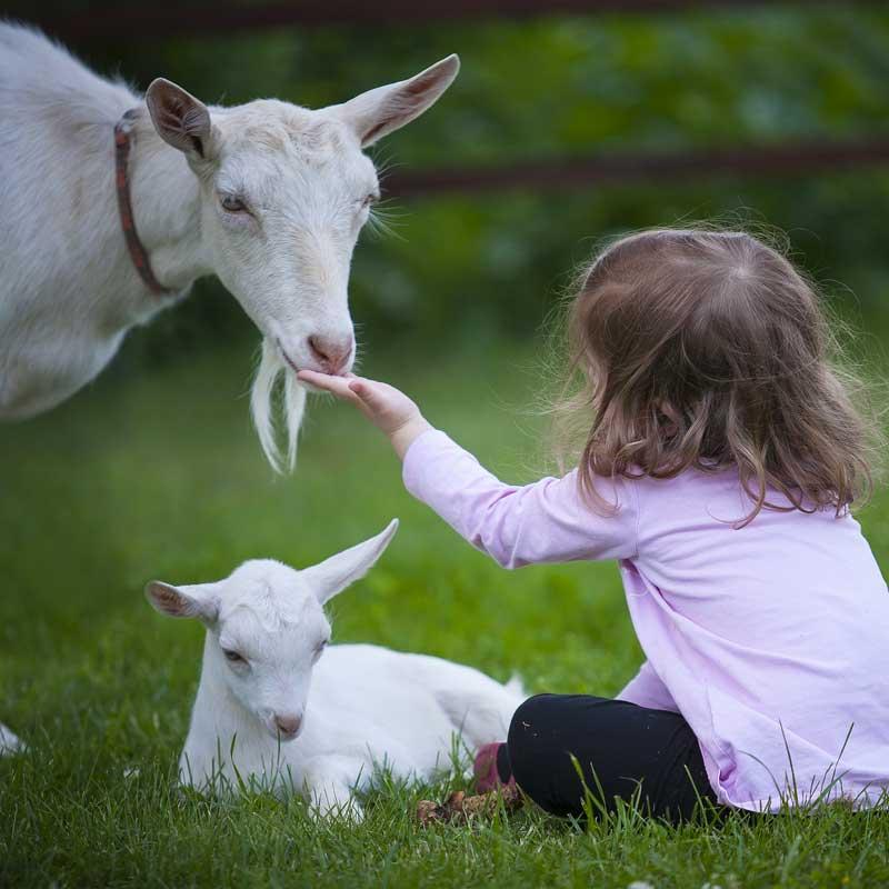 Les chèvres ont développé une forme de confiance à l'égard des humains.