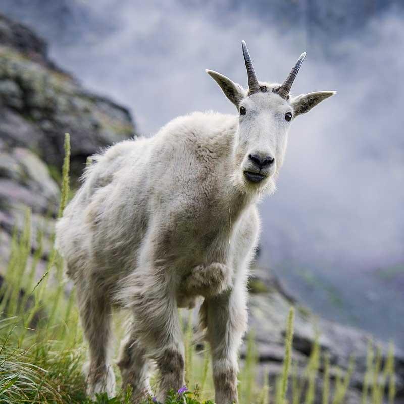 Les chèvres des montagnes Rocheuses ont un drôle de look!