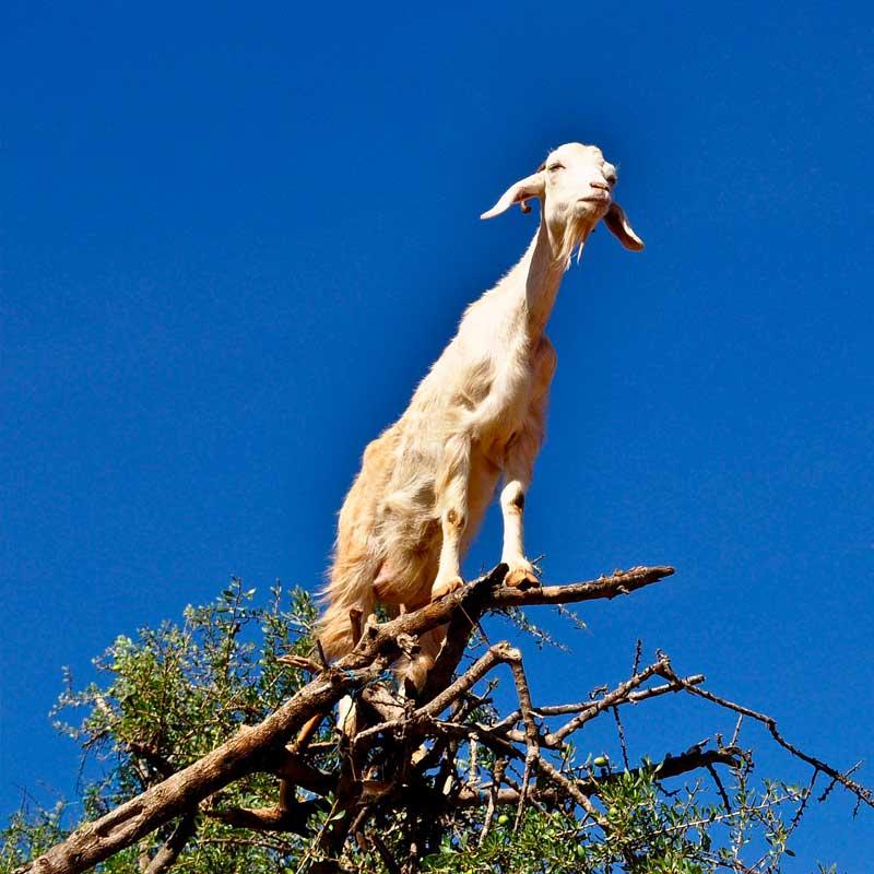 Eh oui, les chèvres sont d'excellentes grimpeuses!