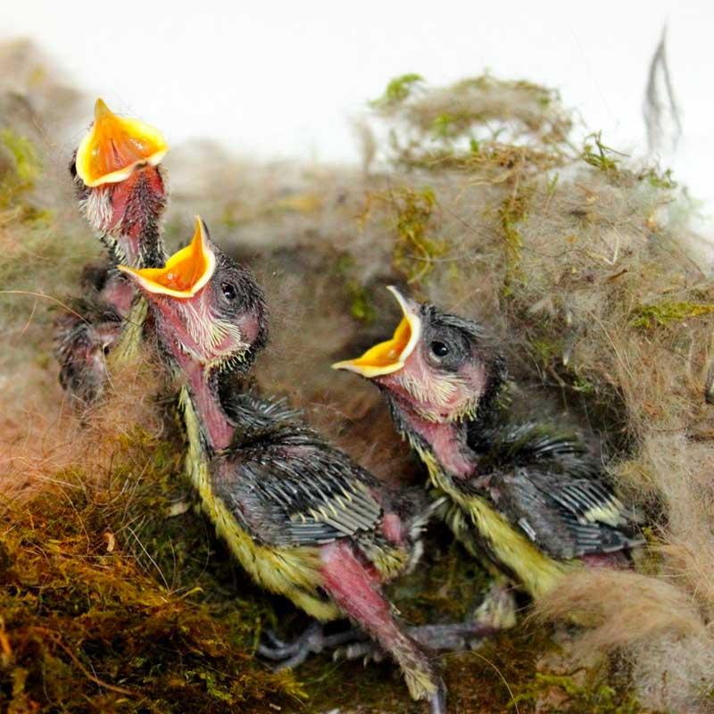 Les soigneurs nourrissent les oisillons jusqu'à 15 fois par jour... Ces bébés mésanges ont déjà bien faim!