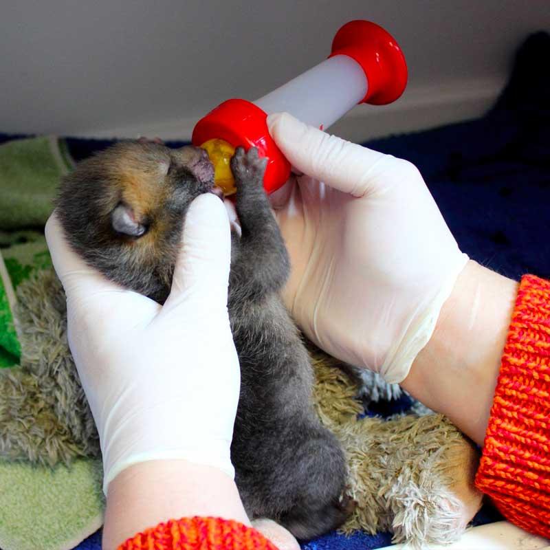 Ce bébé renard a été sauvé par les soigneurs de l'Hirondelle.
