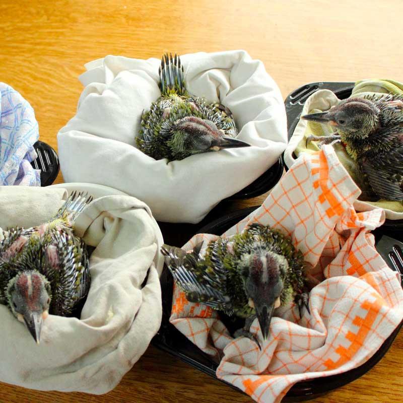 Tombés du nid, ces jeunes pics verts ont pu être sauvés!