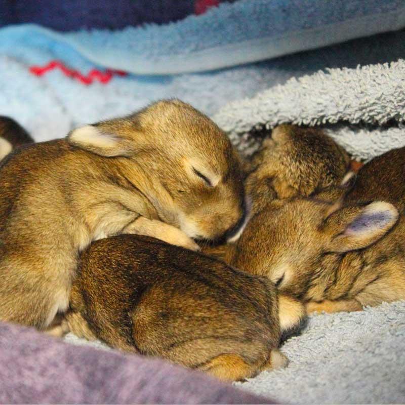 Les lapins orphelins s'endorment: à l'Hirondelle, ils sont en sécurité.
