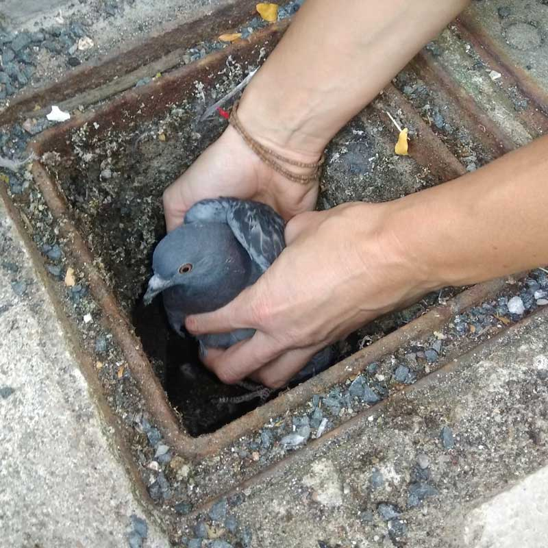 Opération sauvetage d'un pigeon biset!