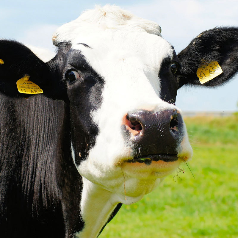 Les vaches Prim'Holstein, ou 'Holstein, sont les plus élevées au monde.