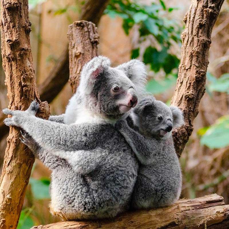 Au moins 25 000 koalas seraient morts dans les feux d'après la NASA.