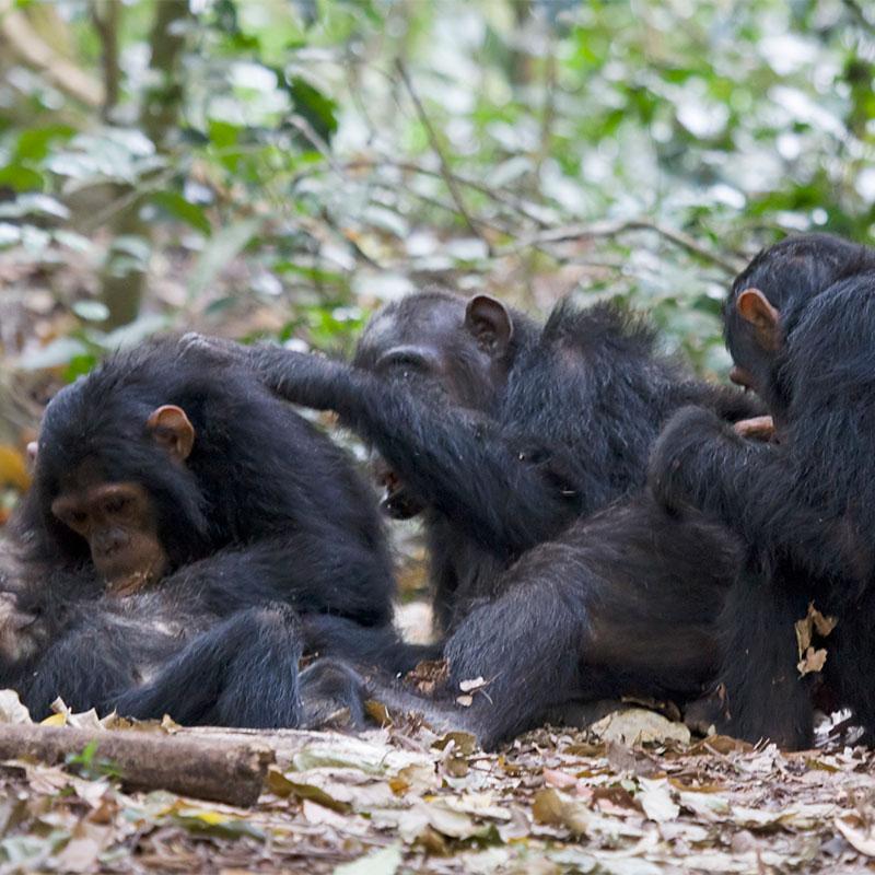 Les chimpanzés choisissent avec qui collaborer – ou pas!