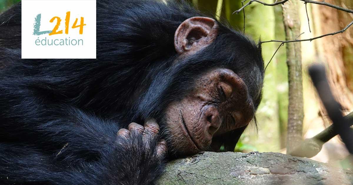 Bubbles, le chimpanzé qui voulait être libre