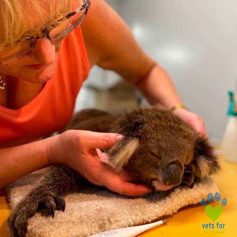 Les brûlures de ce koala sont maintenant soignées.
