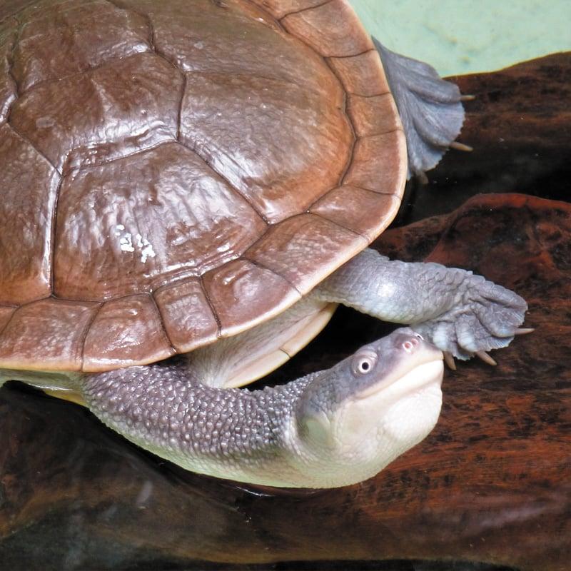 Une tortue à cou de serpent