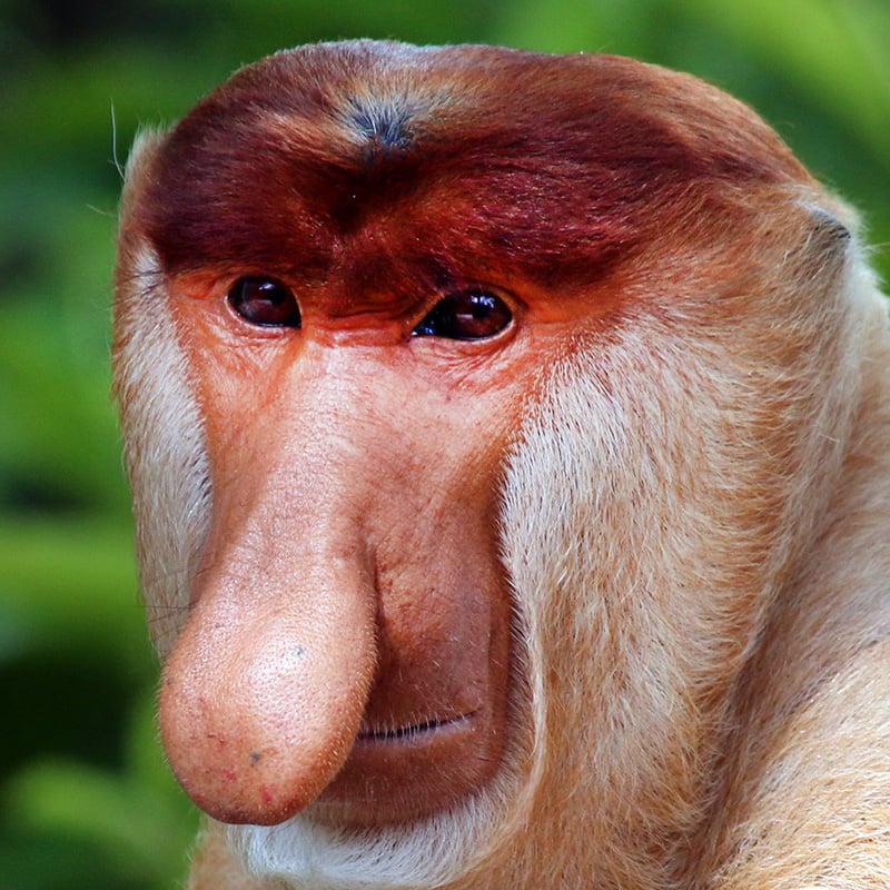 Un singe nasique