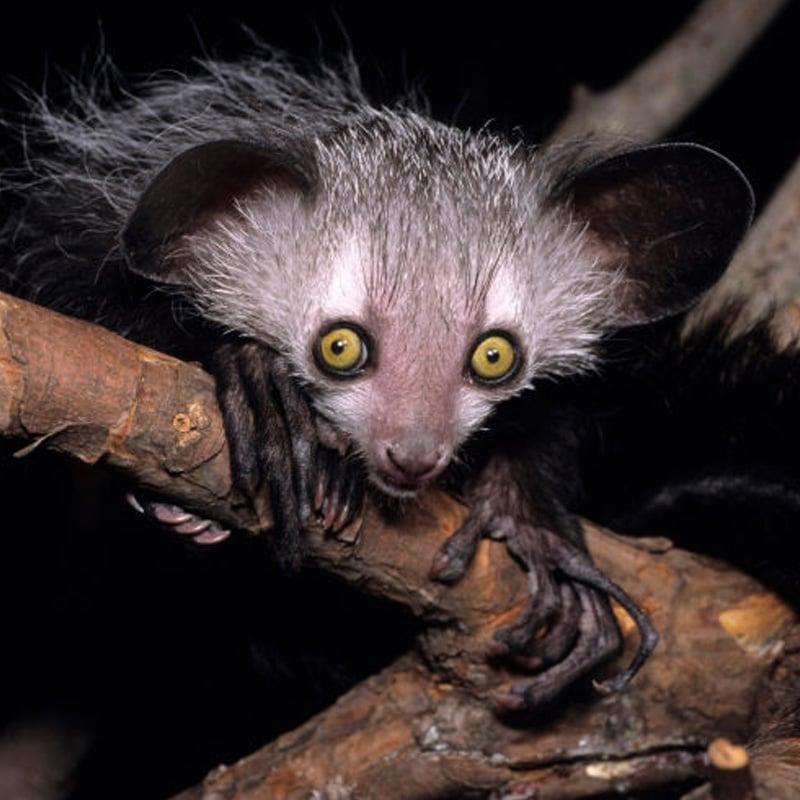 Le aye-aye est un lémurien de Madagascar