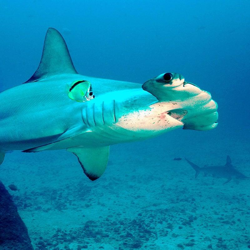 Dans les aquariums, les requins marteaux supportent mal les conditions de captivité.