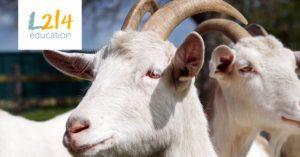 Et si les chèvres étaient capables d'entendre les émotions?