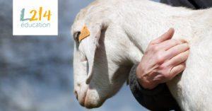 Des élèves en production animale envoient leurs animaux dans un refuge plutôt qu'à l'abattoir