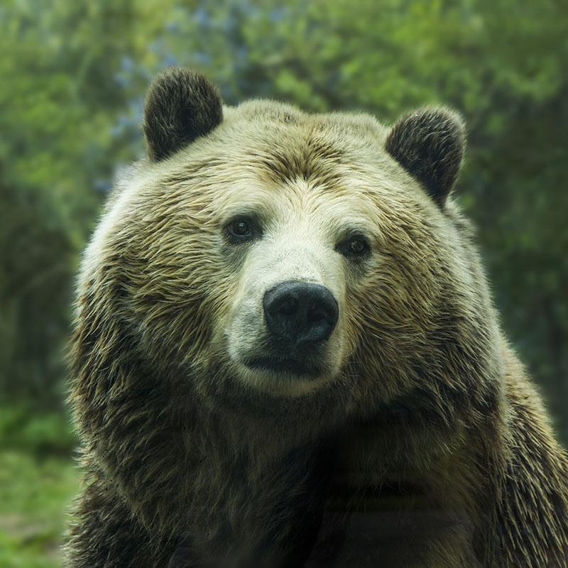 Les ours vivant dans les Pyrénées sont-ils en sécurité?