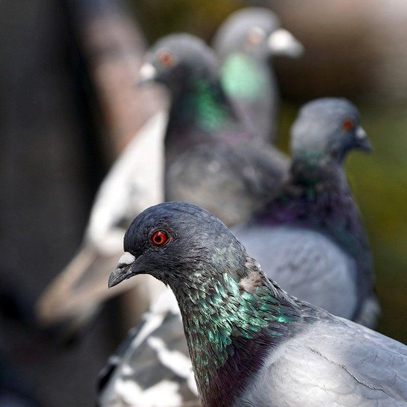 Les pigeons sont-ils trop nombreux dans les villes?