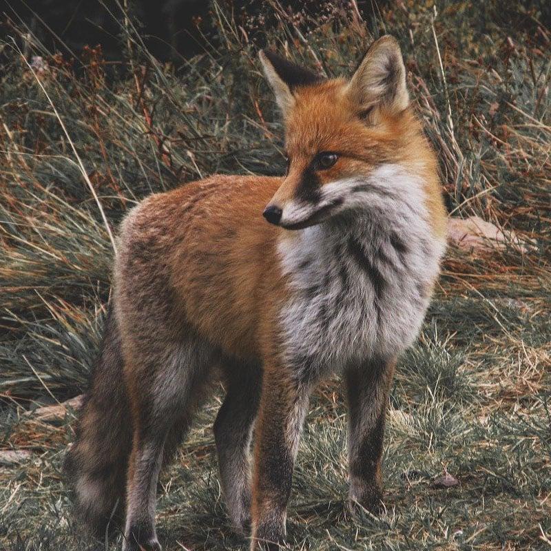 Les renards sont souvent considérés comme des animaux nuisibles