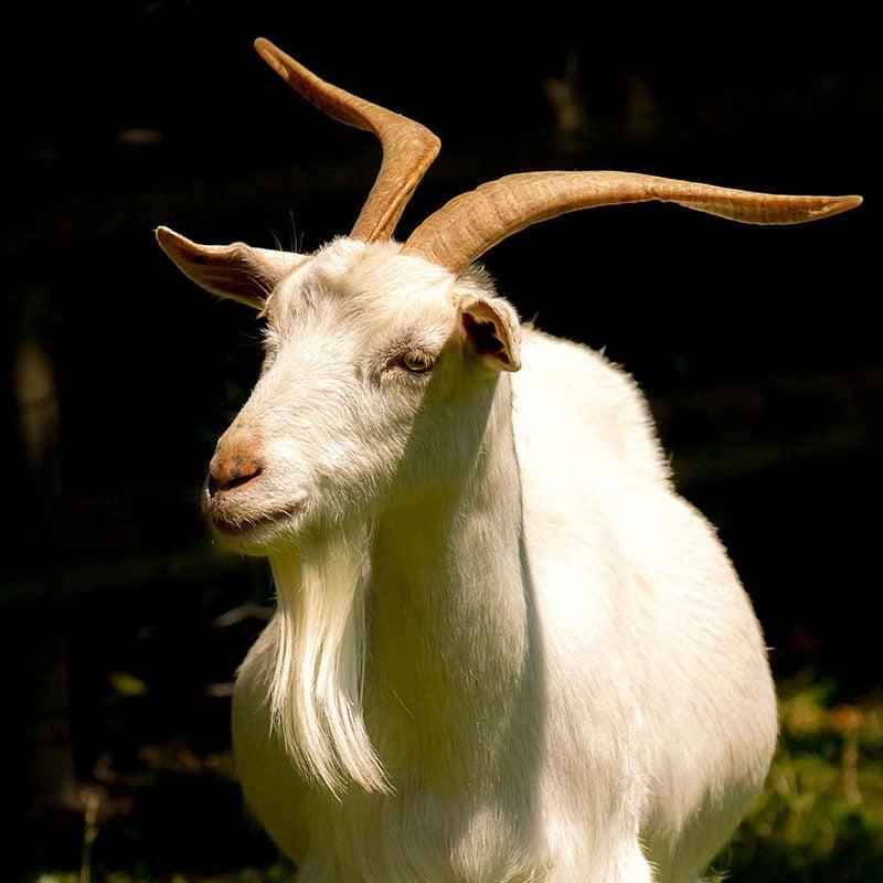 Les chèvres reconnaissent le bonheur et la tristesse dans la voix de leurs congénères.