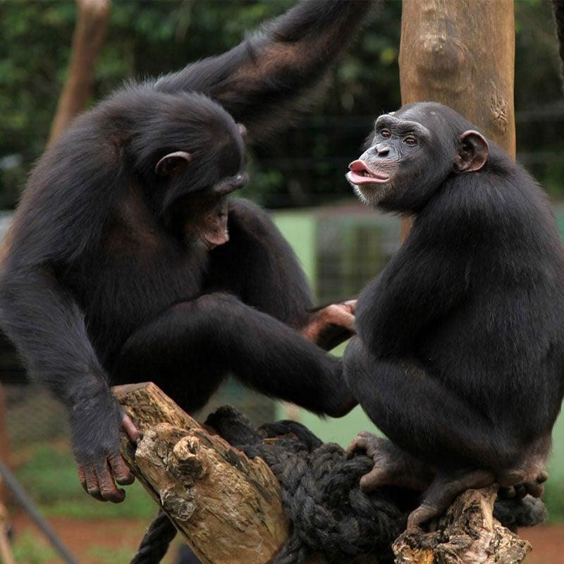 Des chercheurs mettent au point un dictionnaire gestuel pour comprendre le langage des chimpanzés.