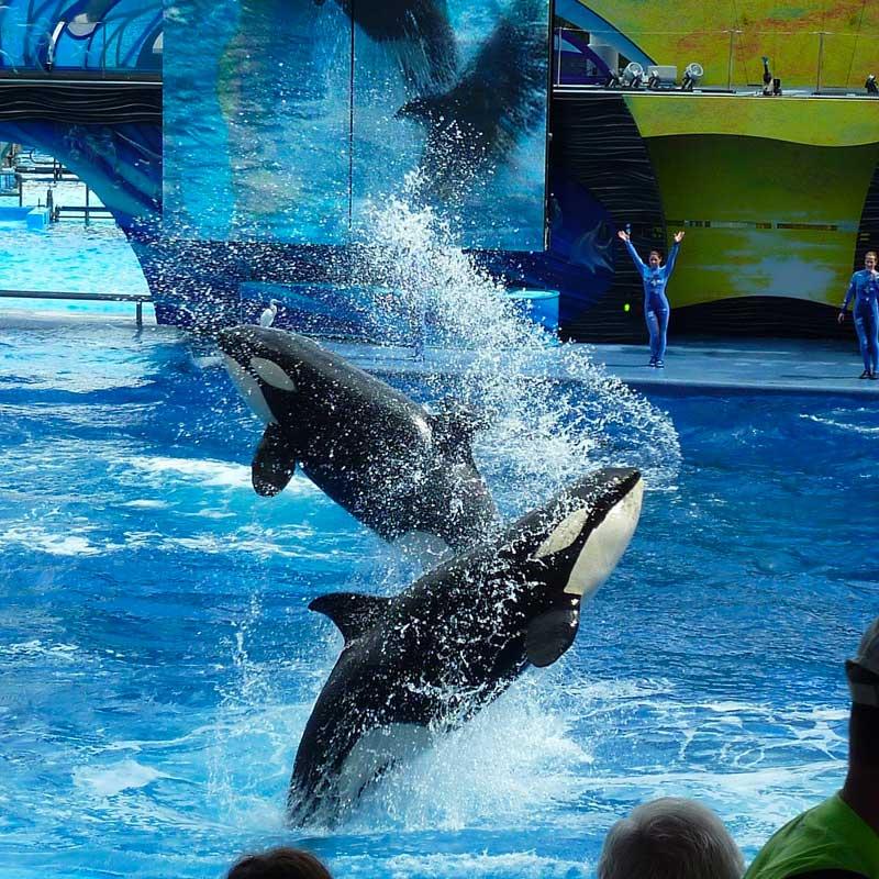 Son métier consistait à organiser les spectacles d'orques, à Seaworld ou à Marineland.
