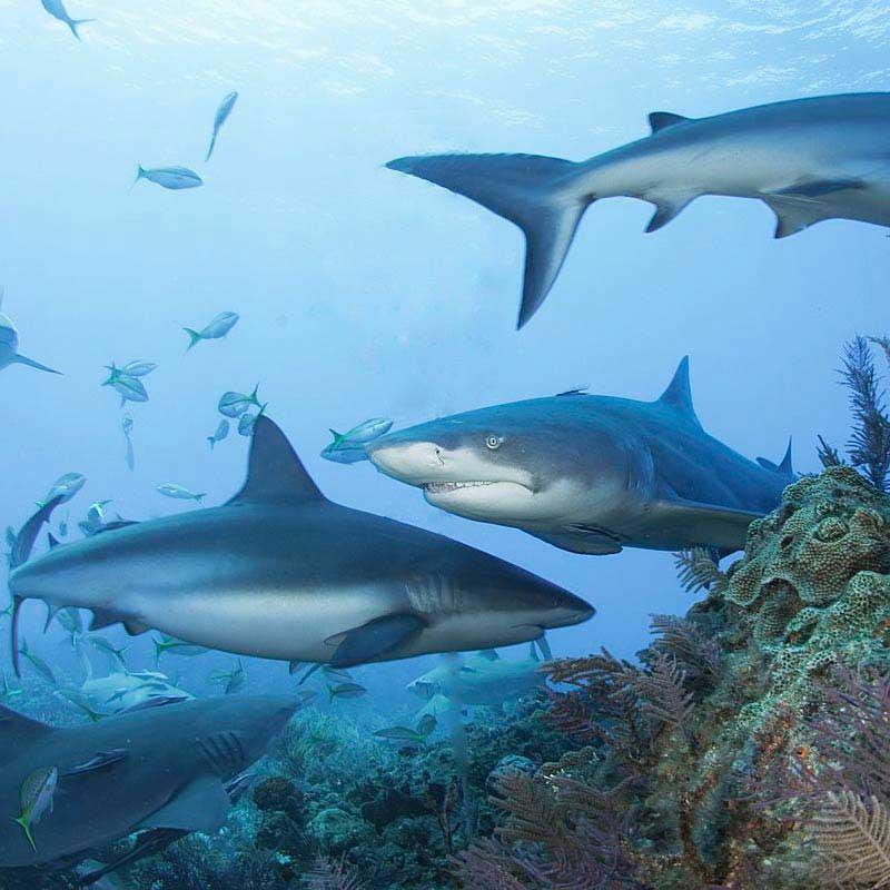 Requins de récifs