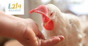 Une poule secourue