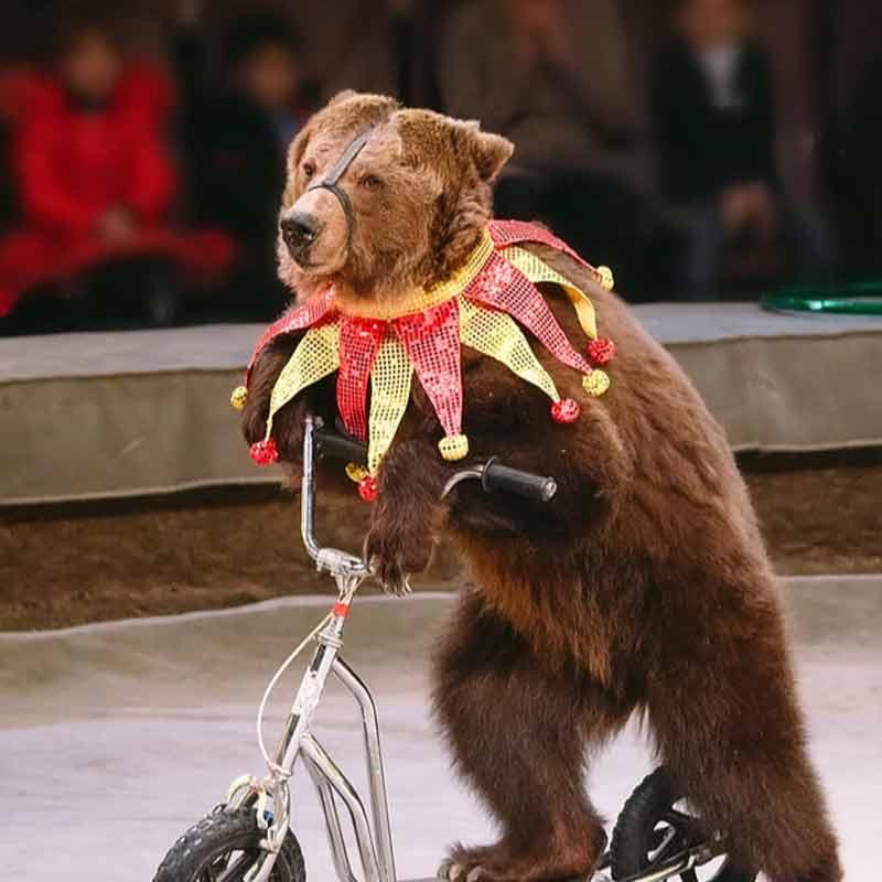 Un ours dressé pour le cirque