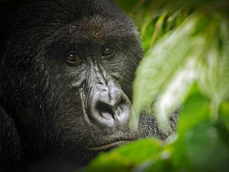Le regard d'un gorille