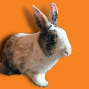 Charlie lapin adopté dans un refuge