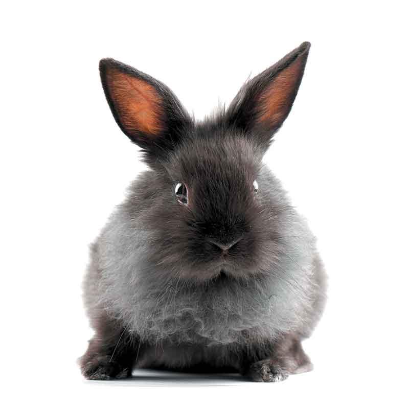 Les lapins nains sont très populaires, mais avant d'en adopter un, il faut s'informer sur leurs besoins.