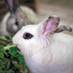 Comment adopter un lapin? Mode d'emploi