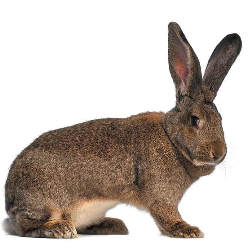 Le géant des Flandres est un très grand lapin: son poids peut atteindre 10 kilos!